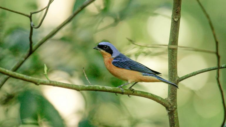 Espécie de ave é registrada pela primeira vez no Parque Estadual da Pedra Branca