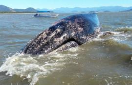 Inea discute plano de ação para resgate de baleias com instituições de pesquisa e órgãos de proteção ambiental