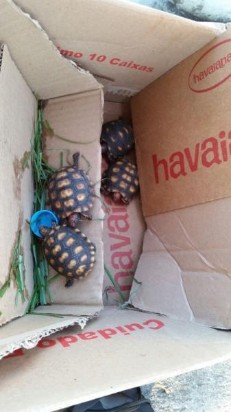 Secretaria do Ambiente flagra venda ilegal de filhotes de jabuti em frente ao metrô de São Cristovão