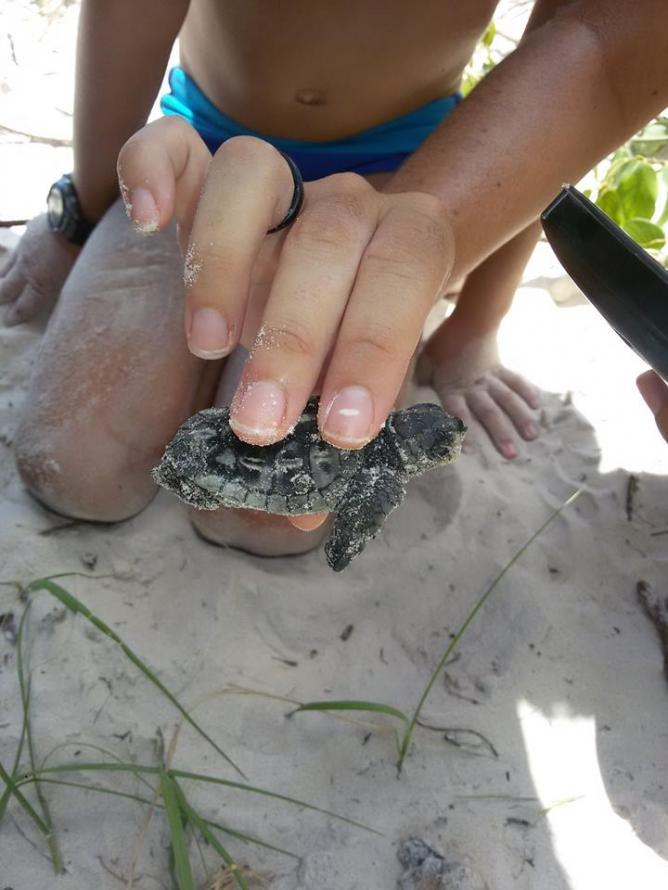 Inédito nascimento de tartarugas marinhas é monitorado pelo Inea no Parque Estadual da Ilha Grande, na Costa Verde
