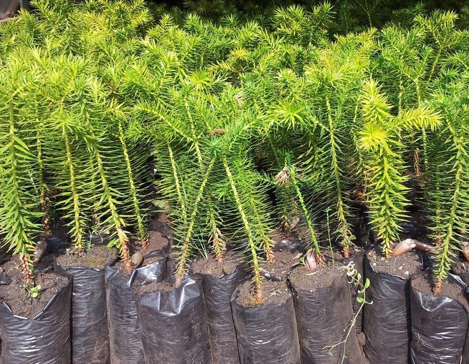 Banco do Inea incentiva o reflorestamento