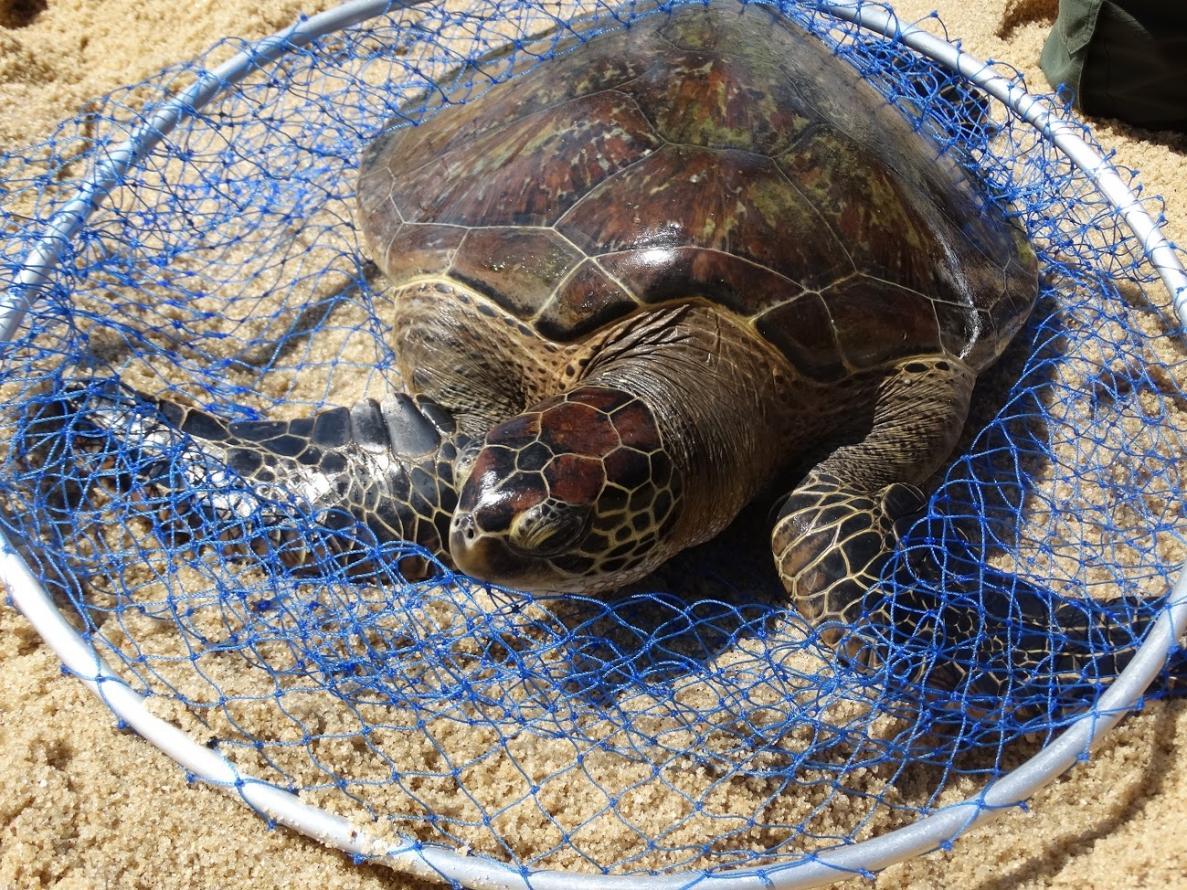 Inea devolve ao mar duas tartarugas marinhas em extinção